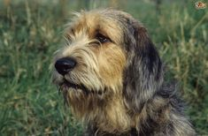 Otterhound Dog Breed Information, Facts, Photos, Care | Pets4Homes