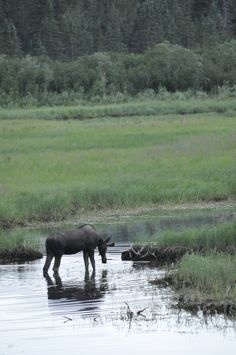 A female moose forms a lonely silouette in a pond near Denali, Alaska.
