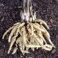 SKIRRET: A perennial 'parsnip' although SO much sweeter and easier to grow. A heritage UK crop too!