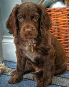 Chocolate Cocker Spaniels Spaniel Terrier Dog Photography Puppy Hounds Chien Puppies Pup
