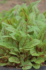 Skogsskräppa, Red Veined obetat