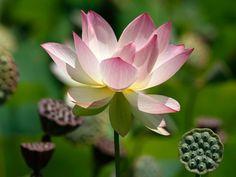Lotus flowers in full blooming season (© Nick Ut/AP)