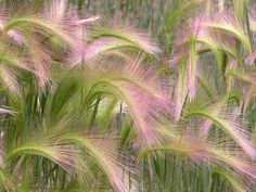 Squirrel Tail Grass aka Fox-tail Barley (Hordeum jubatum).  Wonderful =)