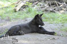 Junger schwarzer Wolf liegt im Gehege im Schatten