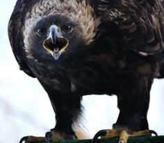 harpy character - powerful (Golden Eagle. Photo by anjoudiscus)