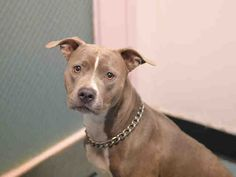 **SICK** - TO BE DESTROYED - 04/18/16 - GRACE - #A1069200 - Urgent Brooklyn - FEMALE GRAY/WHITE PIT BULL MIX, 4 Yrs - OWNER SUR - EVALUATE, NO HOLD Reason CHILDCONFLICT - Intake 04/02/16 Due Out 04/02/16 - 04/16/16 - CIRDC, START DOXY