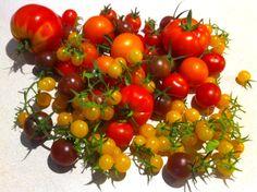 Tomatenernte | tomato harvest | συγκομιδή τομάτων