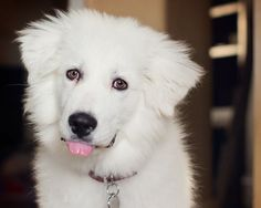 19 weeks #greatpyrenees #pets #dog #puppy #cotton