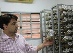 """O agrônomo Diogo Carvalho, um dos fundadores da Bug, mostra a """"embalagem"""" das vespas em laboratório  (Foto: Alexandre Milanetti/Divulgação)"""