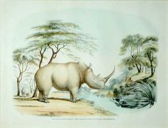 The Square Nosed or White Rhinoceros