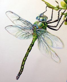 Image of Emperor Dragonfly Limited Edition
