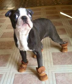 ❤ Dolly Boston Terrier Fave ❤ Do they come in pink? Boston Terriers, Boston Terrier Love, Cute Puppies, Cute Dogs, Dogs And Puppies, Doggies, Baby Animals, Funny Animals, Cute Animals