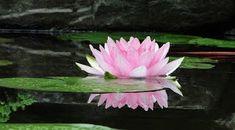 În această poveste cu tâlc, lotusul ce dă să înflorească pe un lac este asemuit cu autentica cale de aflare a semnificației vieții, una car... Purple Flowers Wallpaper, Pink Flowers, Lotus Flowers, Most Beautiful Flowers, Beautiful Mind, Blossom Meaning, Lotus Flower Meaning, Flower Symbol, Flower Meanings