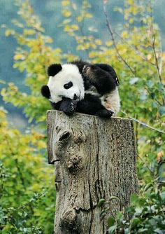 """Panda: """"This seemed as good as place as any ~ to have a small rest ~ I'm a little beat!"""" (Giant Panda Cub Photo By: Josef Gelernter. Cute Creatures, Beautiful Creatures, Animals Beautiful, Nature Animals, Animals And Pets, Cute Baby Animals, Funny Animals, Baby Pandas, Baby Panda Bears"""