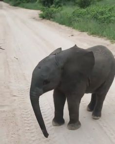 This baby elephant practicing his charge is too cute 🐘 - Animal photography Baby Animal Videos, Baby Animals Pictures, Cute Animal Pictures, Funny Animal Videos, Funny Elephant Videos, Elephant Facts, Super Cute Animals, Cute Little Animals, Cute Funny Animals