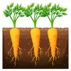 Fresh carrot growing in the field Royalty Free Vector Image Vegetable Drawing, Paper Fruit, Powerpoint Background Design, Fresco, Paper Flowers Craft, Plant Science, Farm Theme, Plant Growth, Arte Floral