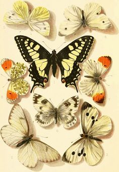 beautiful orange tipped butterflies and other vintage lovelies