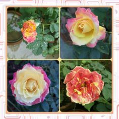 Different stages of the same flower !