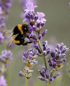 Bumble bee on a lavender spire.