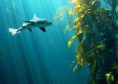 shark and kelp