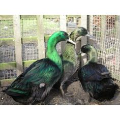 Information on Ducks, Pekin Bantams and Fantail Doves also birds for sale Birds For Sale, All Birds, Angry Birds, Ancona Ducks, Pet Ducks, Carol Ann, Chickens Backyard, Bird Feathers, Animals
