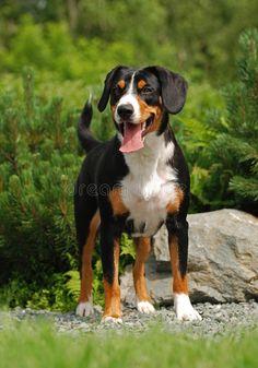 Beautiful Dogs, Animals Beautiful, Entlebucher Mountain Dog, Bernese Mountain, Great Swiss Mountain Dog, Dog Crying, Dog Commands, Farm Dogs, Large Dog Breeds
