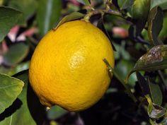 Как вырастить лимон в домашних условиях Pots, How To Grow Lemon, Best Multivitamin, Rogers Gardens, Good Source Of Fiber, Fruit Photography, Edible Garden, Vitamins And Minerals, Balanced Diet