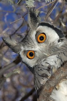 """Looks like she has the """"Mother Look"""" down pretty well! Whitefaced owl by Eugene Troskie"""