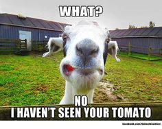 Try this website widened goat farming ideas Funny Goat Memes, Funny Animal Memes, Cute Funny Animals, Cute Baby Animals, Funny Dogs, Funny Farm, Animal Humor, Farm Animal Toys, Farm Animals