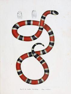 cobra de coral, ilustração científica, blog de squish de design