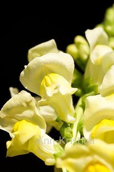 Ann-Kristina Al-Zalimi, Antirrhinum majus, isoleijonankita, flora, lejongap, leijonankita, snapdragon, garden, puutarha, flower, close up