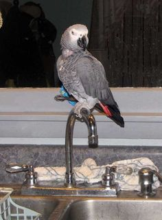 Great Perch. African Grey Parrot, Bird, Pets, Animals, Cakes, Store, Animales, Animaux, Kuchen