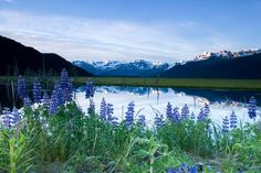 """Landscape photography of mountains wall art - """"Lupine Blooms Along Pond 20 mile River Valley AK SC Summer Chugach Mtns"""" from Alaska Stock available at Great BIG Canvas. Pond Landscaping, Landscaping With Rocks, Lupine Flowers, Building A Pond, Ski Touring, Landscape Plans, Wildflower Seeds, Plants Online, Spring Day"""