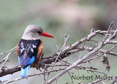 The avifauna of Kenya include a total of 1132 species. Grey-headed kingfisher (Halcyon leucocephala)  A dry-country kingfisher of scrub and woodland, solitary or in pairs, often found near water, but unlike most kingfishers is not aquatic.   Nests in holes in steep riverbanks and is aggressively protective of its nest by repeated dive-bombing of foraging monitor lizards. It is parasitised by the greater honeyguide..  Thank you Norbert Müller for this amazing photo! www.sunworldsafaris.com