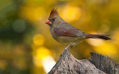 Ultra HD cardinal bird