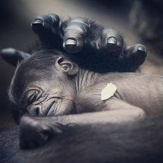 Este pequeño mono nació en el zoológico de Frankfurt. Acurrucado tranquilamente en el pecho gigante de su madre Rebecca, el bebé gorila esta sin duda en las manos adecuadas…