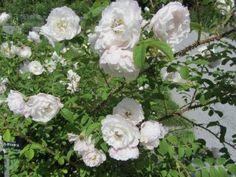 Rosa Rugosa-ryhmä 'Sävel' -tarhakurtturuusu 'Sävel' - Pinsiön taimisto