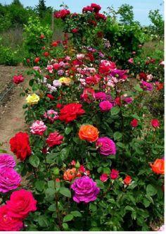 briosa barbrio barni pinterest beautiful roses flowers rose. Black Bedroom Furniture Sets. Home Design Ideas