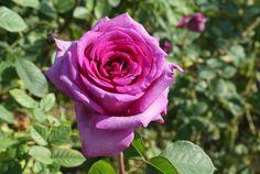 Rosemary Ladlau | Ludwigs RosesLudwigs Roses