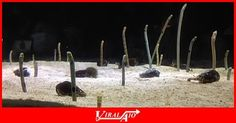 Group of eel showing performing some kind of …  - #Viral #Trending #Video #Funny #ViralAIO