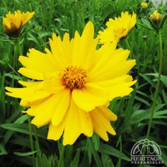 Coreopsis grandiflora Sunny Day™  common name tickseed,  bloom early summer to fall, 18-23 inches