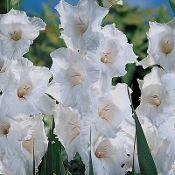 Gladiolus 'White Prosperity' (Per 10 14+Cm Corms)