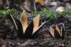 la más bella mushrooms2 peligroso