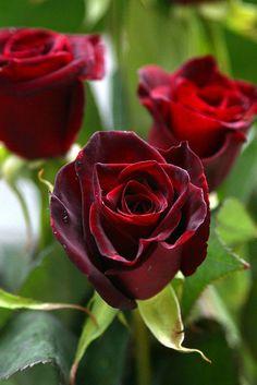 Rose var. Black beauty
