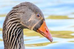 Greylag goose taken on Moses gate country park. Close Up, Birds, Gate, Animals, Animales, Portal, Animaux, Bird, Animal