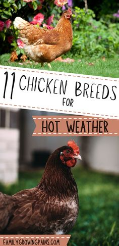 Not all chicken breeds handle hot climates well. If you live in Texas or Florida, you want to raise some of the best chicken breeds for hot weather. Chickens have a higher risk of heat stress than cold-weather related problems. Add a few of these chickens to your flock, like Easter Eggers and Buff Orpingtons. #chickens #hot #weather Best Chicken Coop, Chicken Feed, Chicken Eggs, Chicken Coops, Chicken Breeds For Eggs, Easter Egger Chicken, Chicken Tunnels, Heat Stress, Raising Backyard Chickens