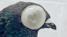 Pesquisa mostra que pombos não traçam suas rotas apenas por cheiro ou campo magnético: eles dependem da visão para guardarem o caminho de volta pra casa.