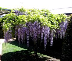 Front Yards Wisteria tree Next year one of these will be in my front yard - Abingdon village, Mandurah, Western Australia. Backyard Trees, Backyard Plants, Garden Trees, Lawn And Garden, Trees To Plant, House Plants, Garden Ideas Australia, Wisteria Tree, Wisteria Japan