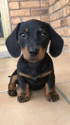 (notitle) - d o g - Puppies Cute Baby Dogs, Cute Little Puppies, Cute Dogs And Puppies, Cute Little Animals, Cute Funny Animals, Weenie Dogs, Dachshund Puppies, Doggies, Cute Animal Photos