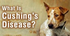 Learn the mechanism of Cushing's disease in pets, symptoms to watch for, and how to get a definitive diagnosis of this complex, confusing disorder. http://healthypets.mercola.com/sites/healthypets/archive/2010/09/21/cushings-disease-caused-by-pet-stress.aspx